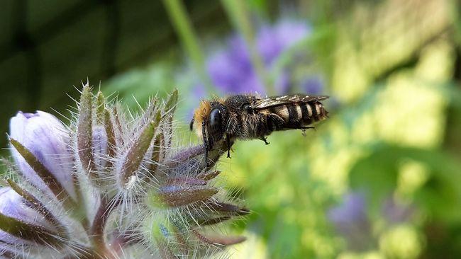Schlafende Kegelbiene (männlich). Foto: Jana Führing