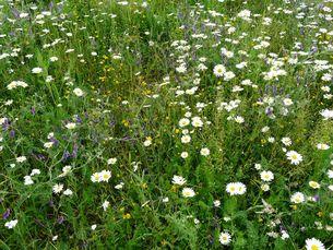 Insektenfreundlicher Blühstreifen