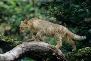 Schleichende Wildkatze