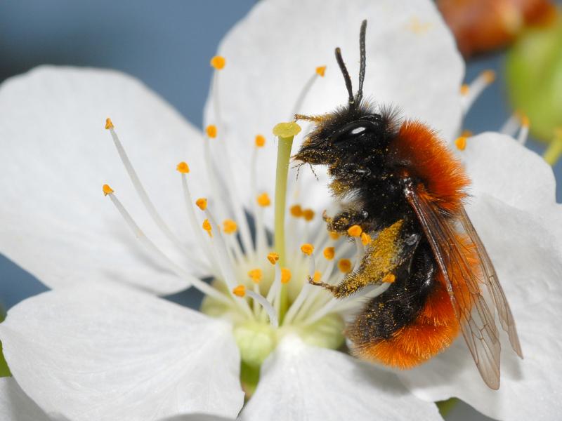 Wildbienen Im Portrait